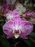 Phaleanopsis hibrid dichte omhooggaand Royalty-vrije Stock Foto's