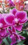 Phaleanopsis mini dichte omhooggaand Royalty-vrije Stock Fotografie