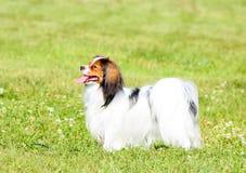 Phalen sta in un bello contatore sull'erba verde Un cane con i peli lunghi cammina di estate un giorno soleggiato Fotografia Stock Libera da Diritti
