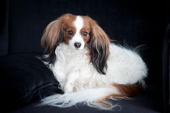 Phalene dog. Beautiful white-brown  phalene dog sitting on the black armchair Royalty Free Stock Photography