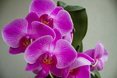 Phalenopsis Photos stock