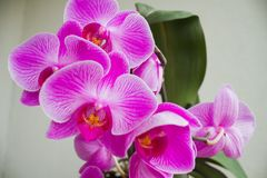 Phalenopsis Photographie stock
