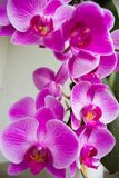 Phalenopsis Photo stock