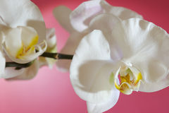 Phalenopsis. White orchid on pink background Royalty Free Stock Image