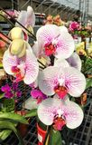 Phalenopsis flowers Stock Photography