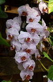 Phalenopsis orchid. A beautifull white-purple orchid in bloom Stock Photos