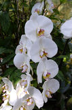 Phalenopsis orchid white. A beautifull white orchid in bloom Royalty Free Stock Photos