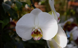 Phalenopsis orchid white. A beautifull white orchid in bloom Stock Images