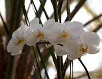 Phalenopsis orchid white. A beautifull white orchid in bloom royalty free stock image