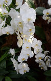 Phalenopsis orchid white. A beautifull white orchid in bloom stock image