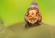Phalera bucephala Stock Images