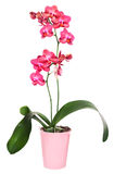 Phalinopsis orchid in flower pot Stock Image