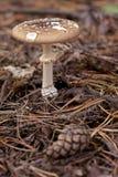 Phalloides de la amanita Fotos de archivo