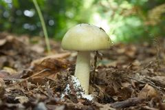 Phalloides do amanita Fotografia de Stock