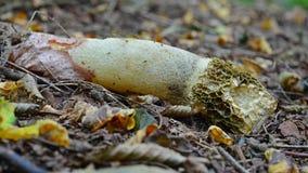 Phallus impudicus Pilz Stockfoto