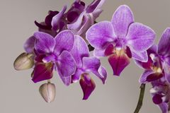 Phanaelopsis orchid flowers Stock Photos