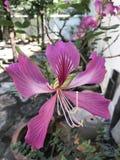 Phanera purpurea, motyla drzewo lub Hawajski storczykowego drzewa kwiat Obraz Royalty Free