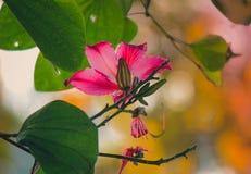 Beautiful pink flower:Phanera purpureaorchid tree,Hong Kong orchid tree,purple bauhinia,camel`s foot,butterfly tree,Hawaiian orch. Phanera purpurea is a species royalty free stock images