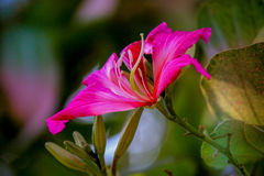 Beautiful pink flower:Phanera purpureaorchid tree,Hong Kong orchid tree,purple bauhinia,camel`s foot,butterfly tree,Hawaiian orch. Phanera purpurea is a species stock images