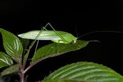 Phaneropterine灌木蟋蟀 库存照片