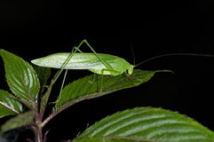 Phaneropterine bush cricket Stock Photo