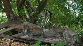 PHANGAN, THAILAND.Wild monkeys jumping through the trees in the rainforest. stock video