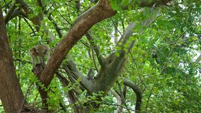 PHANGAN, THAILAND.Wild monkeys jumping through the trees in the rainforest. stock video footage