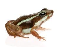 Phantasmal poison frog - Epipedobates tricolor Royalty Free Stock Photos