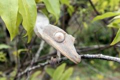 phantasticus Feuille-coupé la queue de gecko/Uroplatus photographie stock libre de droits