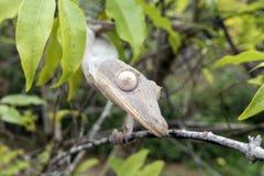 phantasticus Feuille-coupé la queue de gecko/Uroplatus image stock