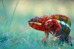 phanter do camaleão que anda na grama foto de stock