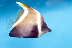 Phantom Bannerfish (Heniochus pleurotaenia) Stock Photos