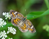 Phaon Crescent butterfly (Phyciodes phaon) Royalty Free Stock Photo
