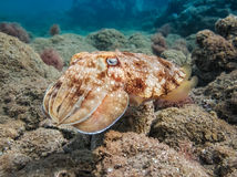 Pharao cuttlefish. Sepia pharaonis. Stock Photography