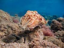 Pharao cuttlefish. Sepia pharaonis. Stock Photos
