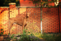 Pharao-Jagdhund Stockfoto