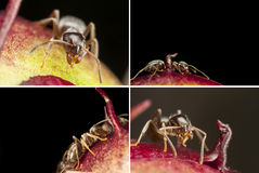 Pharaoh ant closeup. A set of macro pictures of a pharaoh ant on a bloom of chokecherry. The Latin name of the insect is Monomorium pharaonis royalty free stock photos