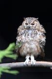 Pharaoh Eagle-Owl Stock Photo
