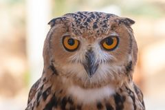 Pharaoh Eagle Owl close up royalty free stock photos