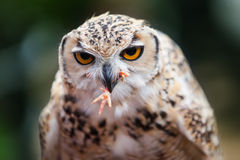 Pharaoh Eagle-Owl. Close-up of a female Pharaoh Eagle-Owl feeding on a chick stock photography