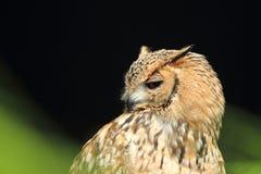 Pharaoh eagle-owl Royalty Free Stock Images