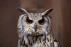 Pharaoh eagle owl face. The appearance of the owl is fearless Royalty Free Stock Photos