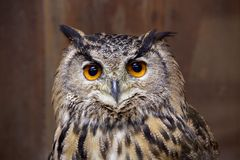 Pharaoh eagle owl face. The appearance of the owl is fearless Stock Images