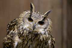 Pharaoh eagle owl face. The appearance of the owl is fearless Stock Photo