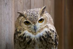 Pharaoh eagle owl face. stock images