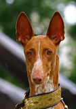 The Pharaoh Hound. Is a breed of dog and the national dog of Malta, where it is called the Kelb tal-Fenek (plural: Klieb tal-Fenek), meaning rabbit hound. It stock photo