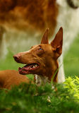 Pharaoh hound. The Pharaoh Hound is a breed of dog and the national dog of Malta, where it is called the Kelb tal-Fenek (plural: Klieb tal-Fenek), meaning rabbit stock photos