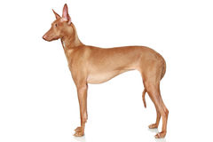Pharaoh Hound. In a rack on a white background stock photos