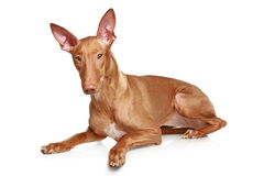 Pharaoh hound Stock Image