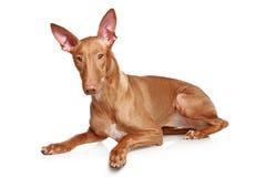 Pharaoh hound. Lying on a white background stock image